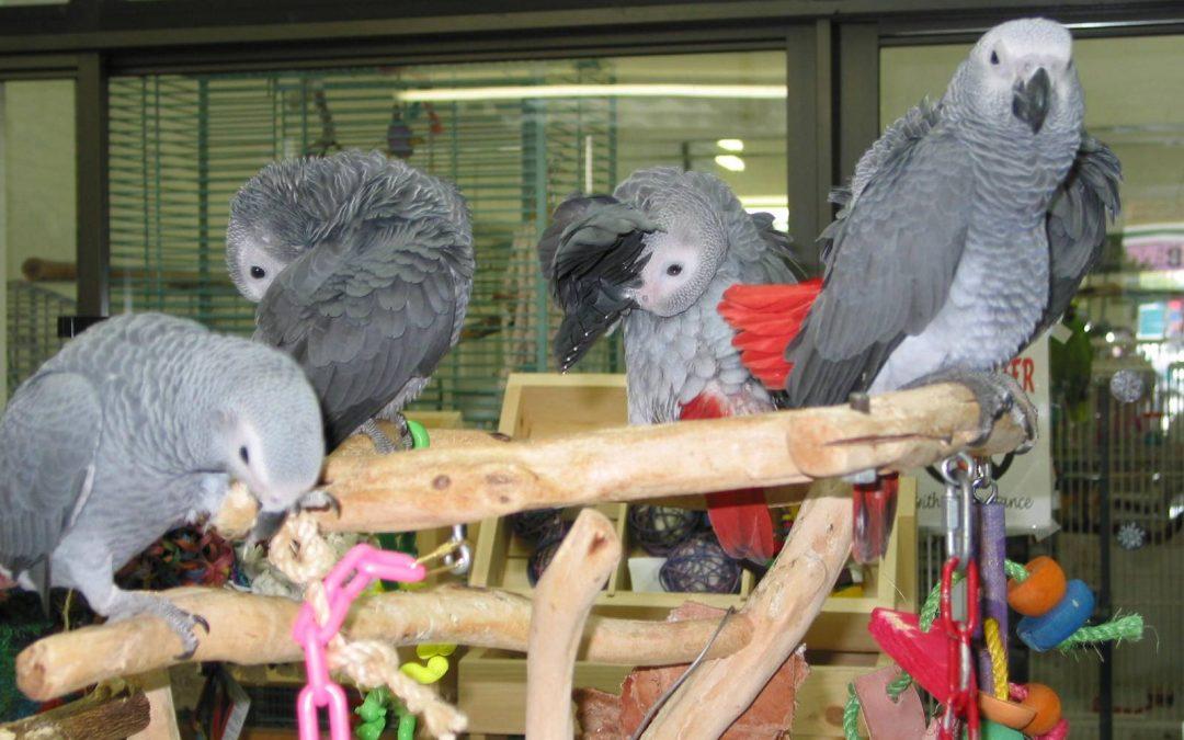 Congo African Grays