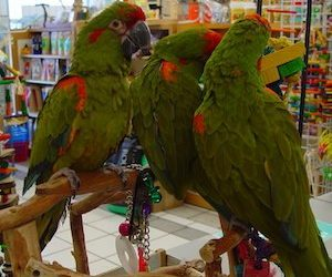 Red Fronted Macaws