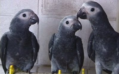 Factors Impacting The Price Of African Grey For Adoption