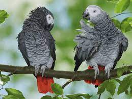 African Gray For Sale: How To Choose The Best Parrot